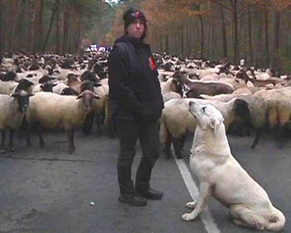 Овцы и люди не смогли остановить грузовики с ядерными отходами