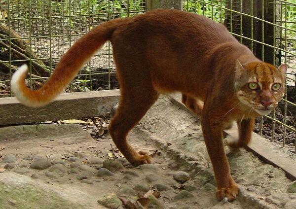 Калимантанская кошка. Архив
