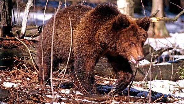 Бурый медведь. Архив