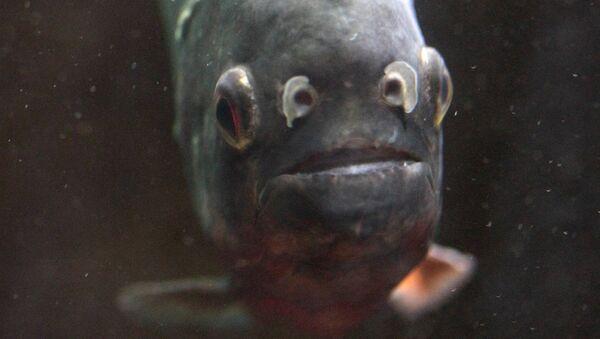 Рыба пиранья. Архив