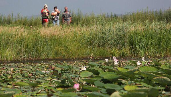 Цветение лотоса на озере Трехозерка