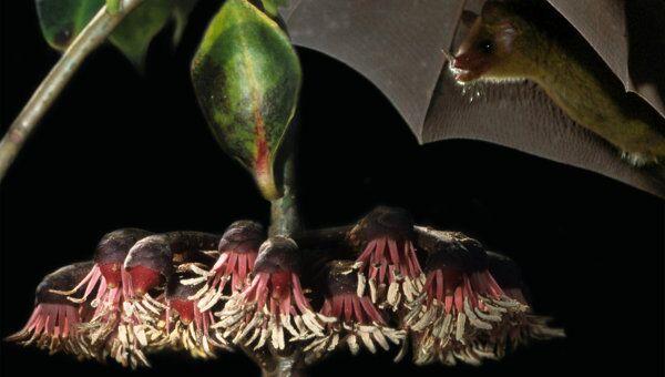 Лианы Marcgravia evenia, которыми питаются летучие мыши