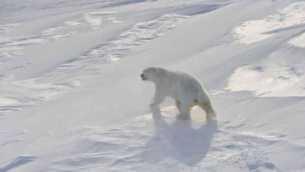 Белый медведь. Архив