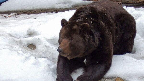 Трутнев намерен добиться ввода запрета зимней охоты на бурых медведей
