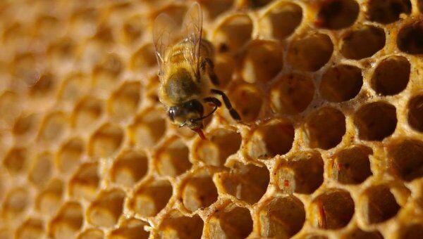 Пчелиные соты. Архивное фото
