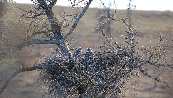 Птенцы кречетов