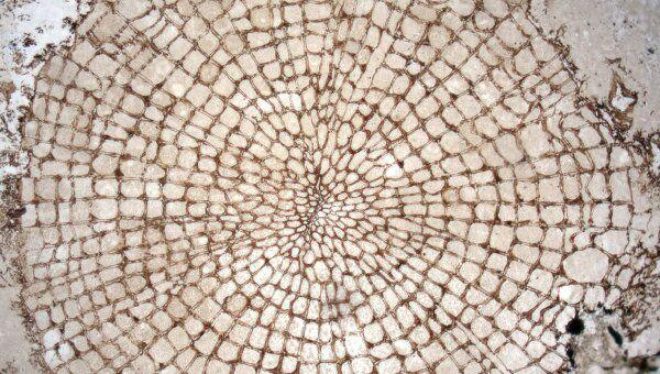 Срез ствола самого древнего дерева, росшего около 400 миллионов лет назад
