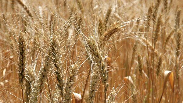 В ближайшее время сельхозпредприятиям придется пересеять  примерно десятую часть озимых