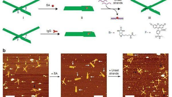 Щипцы из молекул ДНК, захватываюшие молекулые стрептавидина и иммуноглобулина G