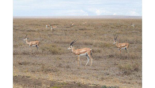 Миграция антилоп-дзеренов усилит популяцию копытных в РФ - эксперт