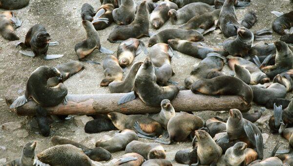 В сокращении популяции тюленей в Шотландии виноваты косатки и люди