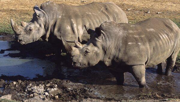 Белый носорог. Архивное фото