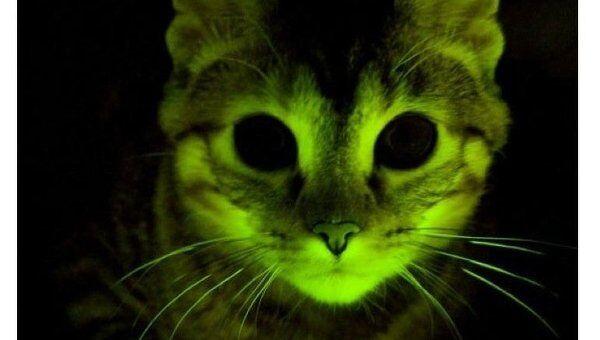 Светящаяся зеленая кошка с геном устойчивости к ВИЧ