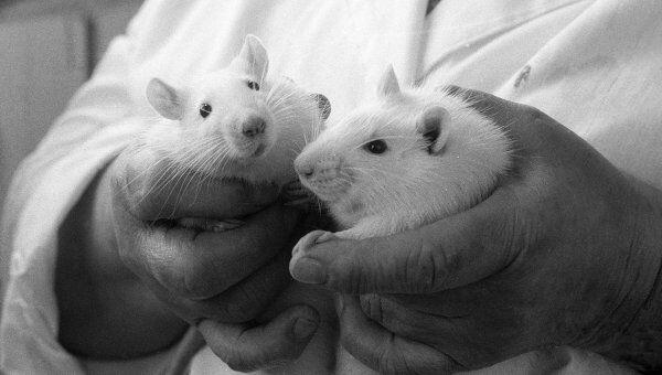 Японцы лечат бесплодие у мышей при помощи стволовых клеток семенников