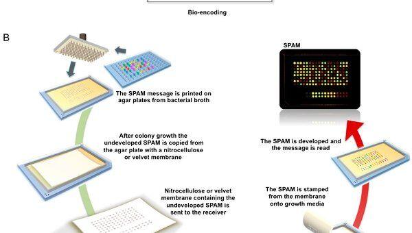 """Механизм работы системы шифрации Уолтса – кишечные палочки наносятся на """"бумагу"""" и их пары кодируют буквы"""