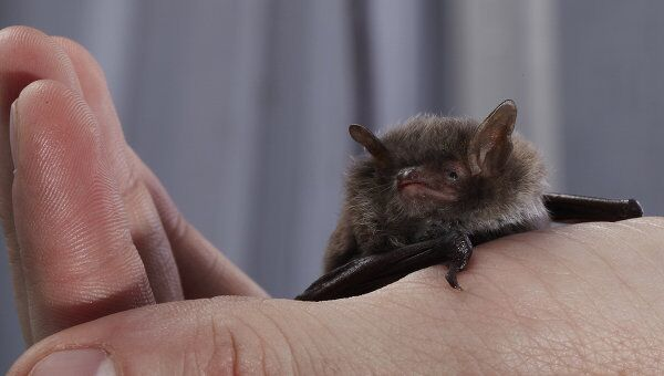 Летучая мышь присела отдохнуть на руку ученого