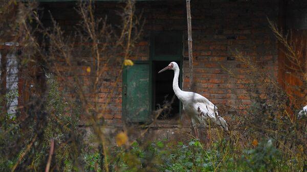 Сибирский белый журавль