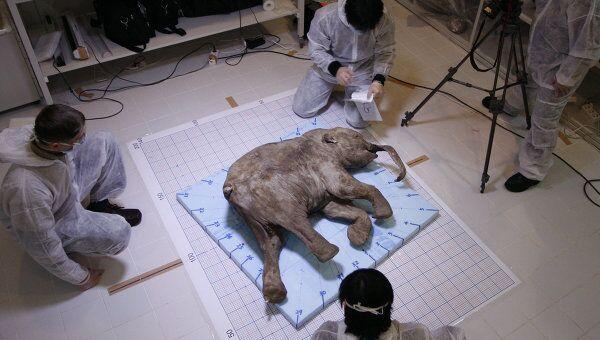 Тело замерзшего мамонтенка. Архив