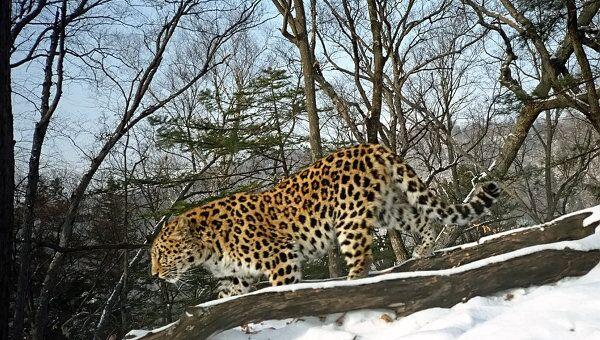 Дальневосточный леопард. Архив