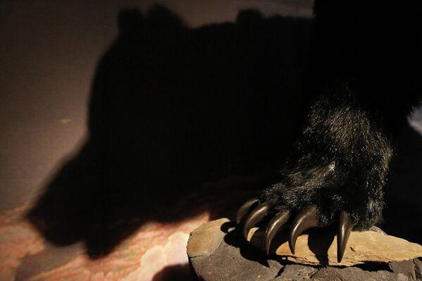 Чучело пещерного медведя на выставке в Томском областном краеведческом музее