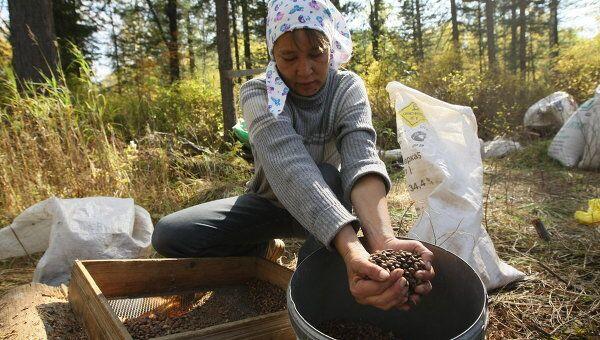 Заготовка кедровых орехов в Чойском районе Республики Алтай