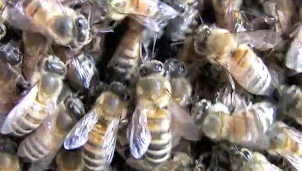 Новое место для дворца королевы пчелы выбирают, бодая товарищей