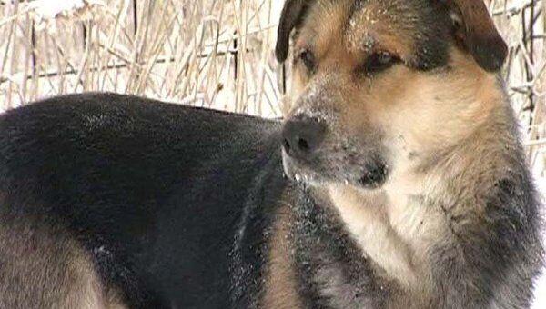 Якутский Хатико: собачья верность в 50-градусный мороз