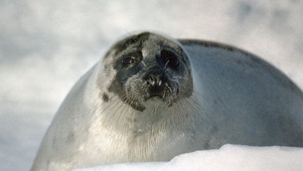 Добыча 280 тысяч тюленей в Канаде сократит популяцию на 30% - экологи