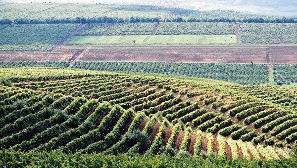 Виноградники в Молдавии