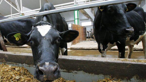 Коровы многоотраслевого агропромышленного хозяйства