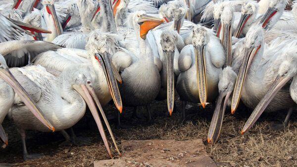 Зимовка пеликанов в порту Махачкалы