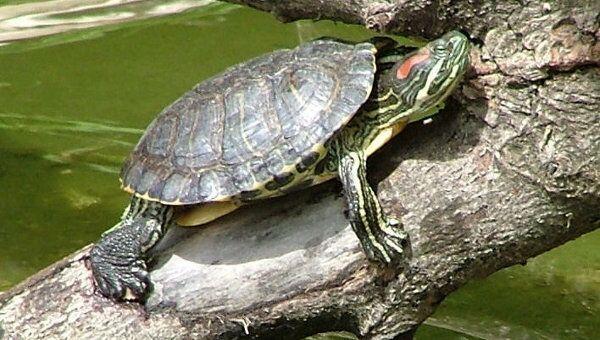 Красноухая черепаха, фото из архива