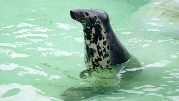 Серый балтийский тюлень в Калининградском зоопарке