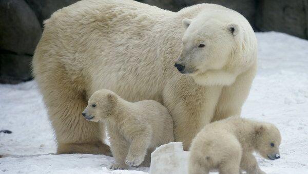 Новорожденные белые медвежата с медведицей