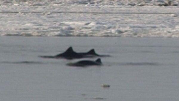 Дельфинов, попавших в ледовую ловушку в Азовском море, спас ветер