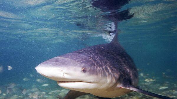 Тупорылая акула (акула-бык)
