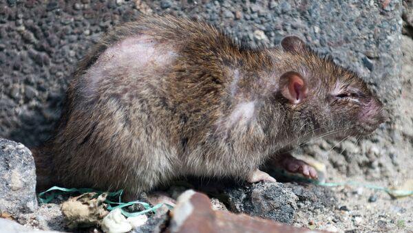 Крыса. Архивное фото