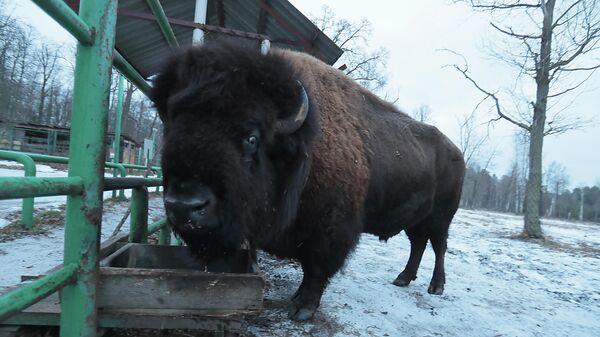 Бизон в питомнике Приокско-Террасного государственного природного биосферного заповедника в Московской области