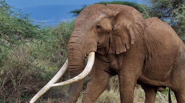 Слон Тим в кенийском Национальном парке Амбосели