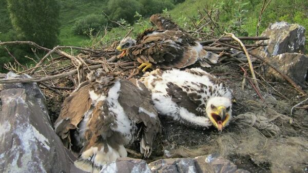 Птенцы степного орла в гнезде