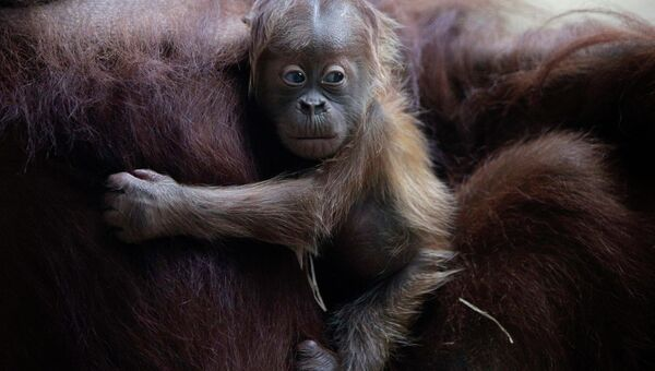 Детеныш орангутана с матерью в зоопарке Франкфурта