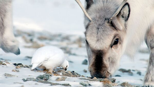 Северный олень и тундряная куропатка, архивное фото