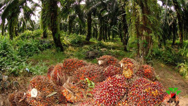 Презентация малайзийского пальмового масла пройдет на «Продэкспо-2013»