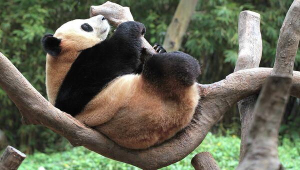 Панда в сафари-парке Chimelong Safari Park. Архивное фото