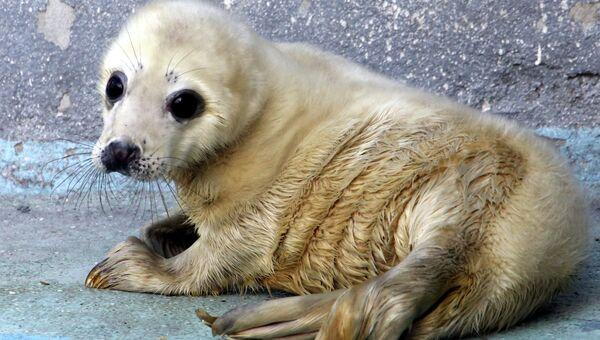 Детеныш серого тюленя. Архивное фото