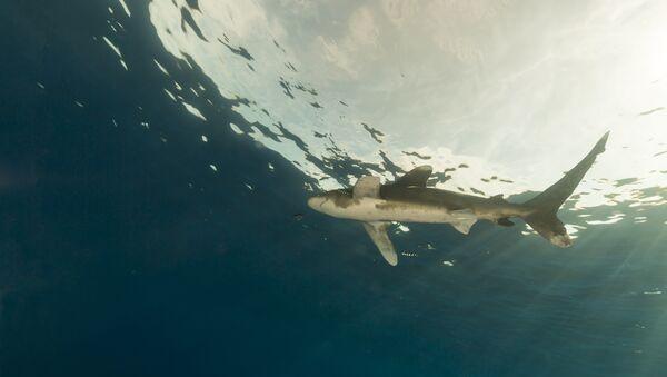 Акула, архивное фото