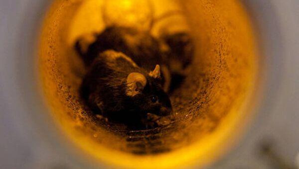 Черные мыши