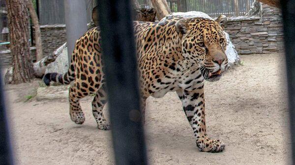 В красноярском зоопарке ягуар вырвался из вольера