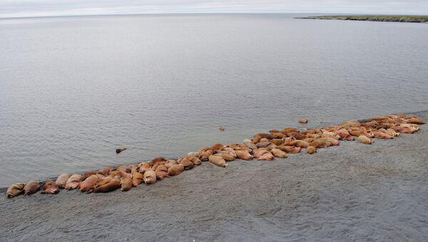 Лежбище атлантических моржей на острова Вайгач