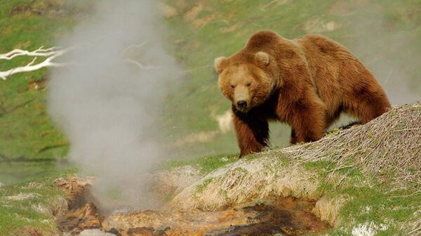 Бурый медведь в в Кроноцком заповеднике